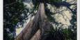 La ceiba gigante